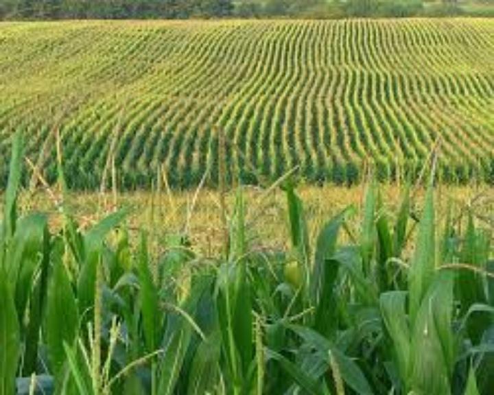 corn-825016-edited
